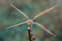 aspa dorada (Santi BF) Tags: macro bug dragonfly bicho liblula odonata anisoptera sympetrum sympetrumfonscolombii libllula odonato anisptero