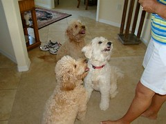 indy-lacey-and-popcorn-ready-for-a-treat--such-well-behaved-doodles-_4605900387_o
