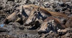 The Lazy Family - Hluhluwe–Imfolozi (lucien_photography) Tags: africa family game nature animal southafrica bath mud wildlife group dirty safari imfolozi warthog afrique gamereserve hluhluwe phacochoerus kznwildlife wartog phacochoerinae