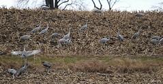 Sandhill Cranes (Sue D Sharpe) Tags: ontario cranes migration sandhillcranes kawarthalakes explored