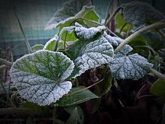 2016-12-27 morning (9)frosted leaves (april-mo) Tags: leaves leaf feuille frosted frost gel deadleaves autumnleaves whitefrost