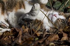 Pallina 1420 (Federico Basile FB Photo Images) Tags: gatto gatta gattina gattino gattini animale felino pallina cucciolo cucciola azione verde neve salto coccole fusa giochi cat smallcat cats cute sweet sweetcat