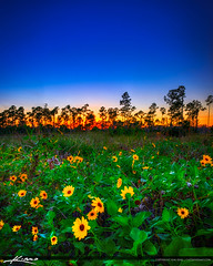 Sunset Cypress Creek South Natural Area with Flowers (Captain Kimo) Tags: aurorahdr2017 captainkimo cypresscreeksouthnaturalarea florida floridalandscape hdrphotography jupiter photomatixpro sunset wetlands