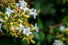 Fiery Skipper Butterfly (randyherring) Tags: ca california plant flora backyard nature flower sanjose fieryskipperbutterfly outdoor bloom afternoon hylephilaphyleus