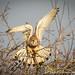 Kestrel showing me her beautiful wings! (jo.angell) Tags: kestrel