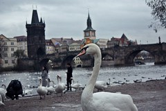 Prague (JanaWithAxel) Tags: swan prague city river brigde nature animal architecture europe travel explore