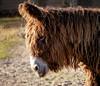 Poitou- Esel (to.wi) Tags: poitouesel esel wilhelma zoo towi