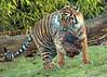 sumatran tiger Burgerszoo JN6A9768 (j.a.kok) Tags: burgerszoo tijger tiger sumatraansetijger sumatrantiger pantheratigrissumatrea cat kat predator sumatra asia azie mammal zoogdier