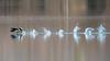 O-o-o-o-o-o-o (Jacques GUILLE) Tags: 09 ariège domainedesoiseaux greatcrestedgrebe grèbehuppé mazères podicepscristatus podicipédidés podicipédiformes bird oiseau