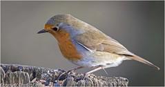 Robin (Charles Connor) Tags: billinge england unitedkingdom gb robins tinybirds birdphotography ukbirds uknature naturephotography canon100400lens canon7dmk11