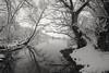 Life after death. (Caroleyene) Tags: utah stansburypark swamp winter snow gloom blackandwhite bleak bw frozen trees deadtrees atmospheric canon1635