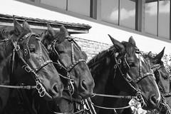 Draft Horse Town (sandraengstrom) Tags: calgarystampede calgary blackandwhite horses