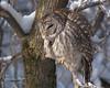 ----- Chouette rayée ------------ Barred owl ------------- Cárabo norteamericano (Jacques Sauvé) Tags: chouette rayée barred owl cárabo norteamericano