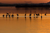 2017-flamants-2902 (davidflinois-visual) Tags: nikon étang paysage landscape couchédesoleil ombrechinoise flamantrose