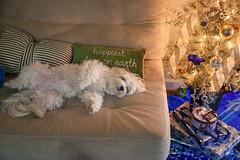 Sleepy Dog (Jorge97301@gmail.com) Tags: dog puppy sleeping nap christmas tree sleepyhead snooze bichon eva pet xmas couch pillow white girl cute