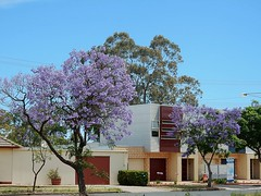 Jacaranda Complementing Contemporary Architecture (mikecogh) Tags: jacaranda flowers purple gumtree new housing architecture contemporary clearview