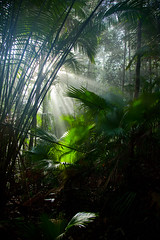 200 Livistona endauensis ( fan palms )--Gunung Janing Barat , Johor , Malaysia (ngchongkin) Tags: palm