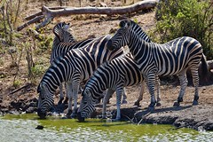 always alert at a waterhole (looking in all directions) (cirdantravels (Fons Buts)) Tags: zebra zèbre equus quagga madikwe
