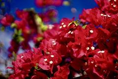 DSC01057 (bokehizm) Tags: sony heligon 50mm f2 bokeh a300 flower beyondbokeh