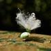 Planthopper Nymph (Fulgoromorpha), Singapore (singaporebugtracker) Tags: singaporebugtracker planthoppernymph fulgoromorpha green macritchieforest peacock macro troll waxy feathers dandelion wackyinsect zipper tail