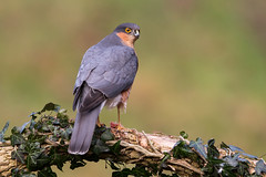 Sparrowhawk (Simon Stobart) Tags: sparrow hawk feeding perched branch ivy leaves lunch scotland male