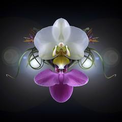 Phalaenopsis Duo & Tillandsia (Pixel Fusion) Tags: tillandsia air plant phalaenopsis orchid flower flora nature macro nikon d7000