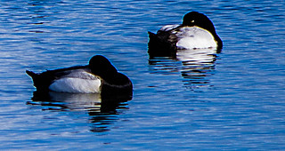 Sleepy Tufted Ducks