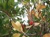 20160502-105203LC (Luc Coekaerts from Tessenderlo) Tags: grc greece kritinia sálakos cc0 creativecommons 20160502105203lc flora tree species aardbeiboom arbutusunedo strawberrytree nobody public coeluc vak201605rodos vak rodos rhodes