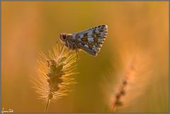 Pyrgus armoricanus (Luciano Silei - sky7) Tags: pyrgusarmoricanus hesperiidae butterfly macro lucianosilei canon7d sigma150macro greatestphotographers