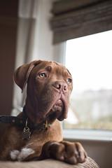 Bruno (carolinematt2) Tags: dogue de bordeaux ddb doguedebordeaux frenchmastiff mastiff dog pup puppy bruno