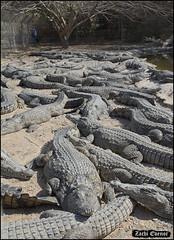 Crocoloco-IZE-105 (Zachi Evenor) Tags: zachievenor israel crocoloco crocolocofarm crocodilefarm crocodiliansfarm crocodile nilecrocodile crocodylusniloticus crocodylus niloticus crocodilia crocodilians haarava riftvalley צחיאבנור ישראל קרוקולוקו חוותקרוקולוקו חוותתנינים חוותתנינאים תניןהיאור תנין היאור תנינים קרוקודיל קרוקודילים תנינאים הערבה 2017 hatzeva 20170221
