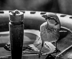 Qu'est-ce que c'est... (Crilion43) Tags: réflex france véreaux divers moineaux nature paysage jardin centre oiseaux canon objectif tamron 1200d cher bleue brouillard charbonnière femelle herbe mâle mésange piaf pierrot