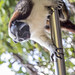 Geoffroy's tamarin monkey - wild titi monkeys gamboa panama pandemonio 2017 - 23