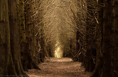Spooky woods (NED_KELLY_GUY) Tags: deep landscape winter tunnel foreboding grain dead woodland trees fbony flatline alley ashrideestate end forest spooky fingers wood scary ominous creepy dark magical caminhos