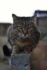 Leo (uomo di latta) Tags: cat leo gatto felino tigrato