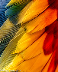 Parrot Feathers (Tewmom) Tags: patterns lines texture bird feather feathers color red yellow parrot abstract blur