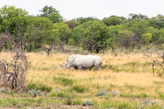 White Rhinoceros (RunningRalph) Tags: africa etosha etoshanp namibia neushoorn rhinoceros southernafrica whiterhinoceros wiiteneushoorn namibië oshikotoregion