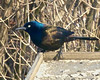Common Grackle (jaybirding) Tags: animal bird leicavlux114 maine me nature outdoor rossmore stormer brunswick us
