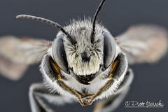 Bee (Karlgoro1) Tags: canon macro photo mpe 65mm f28 eye eyes zerene stacker insect focus stack closeup bug macrolife animal background bee sony alpha a6300 mirrorless digital camera ilce6300