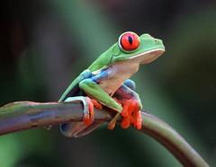 Popeye! Red-eyed tree frog (Agalychnis callidryas), Sarapiqui, Costa Rica, Dec 2016 (Judith B. Gandy (on and off, off and on)) Tags: agalychnis sarapiqui frogs amphibians animals agalychniscallidryas costarica laquintasarapiquicountryinn redeyedtreefrogs treefrogs nationalgeographicwildlife