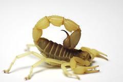 Parabuthus raudus 'light' (South Africa) ♂ adult (ScorpionsExplored) Tags: southafrica venomous invertebrate buthidae scorpion