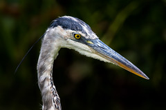 _D2_2011.jpg (rdelonga) Tags: greatblueheron