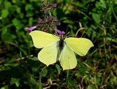 Brimstone ---- Gonepteryx rhamni (creaturesnapper) Tags: uk europe butterflies lepidoptera brimstone pieridae coliadinae