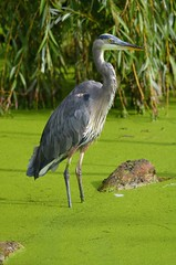 Blue in the Green (Neal D) Tags: bird heron bc greatblueheron abbotsford ardeaherodias matsquivillage