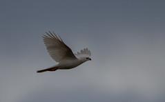 grey goshawk (Accipiter novaehollandiae)-5412 (rawshorty) Tags: birds australia canberra act jerrabomberrawetlands rawshorty