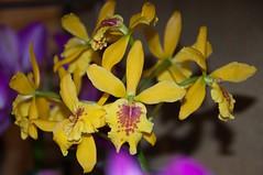 Epicattleya Don Hermann (douneika) Tags: orchid orchidaceae don orquidea orchidee hermann orchidea epicattleya
