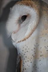 Tyto alba DT [G Zoo El Pantanal] (2) (Archivo Murcilago Blanco) Tags: alba strigiformes lechuza tyto tytonidae tirira diegotirira archivomurcielagoblanco