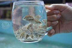 บ่อปลากะพง บางปะกง ใช้จุลินทรีย์ สร้างสัตว์น้ำดิน บำบัดพื้นบ่อ อัตรารอดสูง
