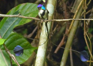 Marvelous Spatuletail (Loddigesia mirabilis)