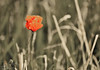 251.365.2015 ODC A splash of colour (Claire Plumridge) Tags: red flower colour field outside village september poppy 365 odc day251 chieveley 2015 55200mm 365project 365daysor52weeks ourdailychallenge 2015yip 365the2015edition fujixt1 3652015 2015ayearinpictures 2513652015